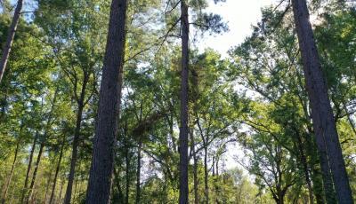 Tall Pine trees through the sunlight